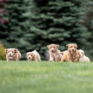 rainmaker ranch labradoodle puppies florida