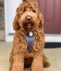royal manor labradoodle breeders in new jersey