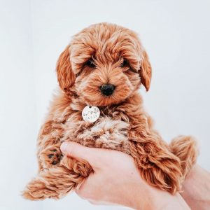 seaspray australian labradoodle breeder in florida