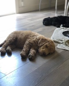tri state labradoodle breeders connecticut