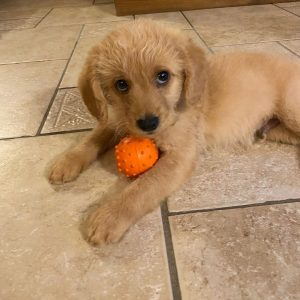 true north labradoodle puppies in connecticut