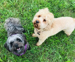 two different cockapoo generations
