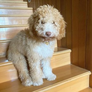what is the price of a labradoodle