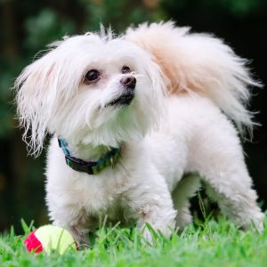 Maltipoo cost for adopting or rescuing