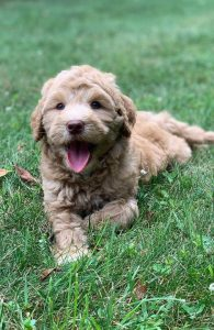 All Star Breeders of Labradoodles Michigan