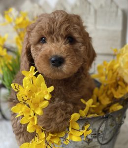 American Goldendoodle