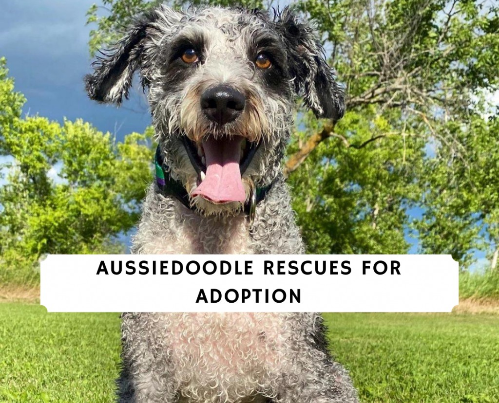 Aussiedoodle Rescues for Adoption