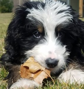 BERNEDOODLE PUPPIES IN MICHIGAN