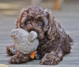 BEST COCKAPOO RESCUE – TOP 5!
