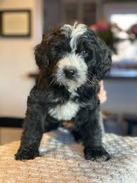 Bernedoodle Breeders in Colorado