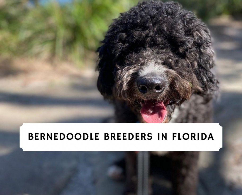 Bernedoodle Breeders in Florida