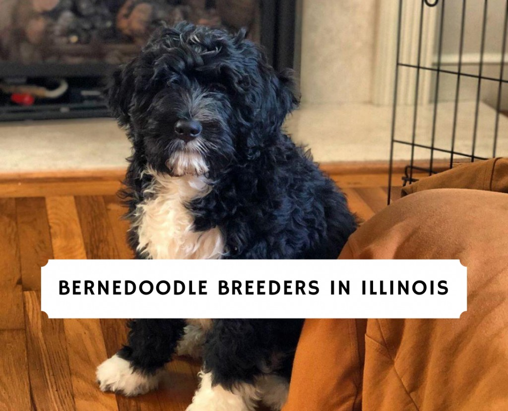 Bernedoodle Breeders in IllinoisBernedoodle Breeders in Illinois