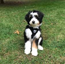Bernedoodle Breeders in Illinois