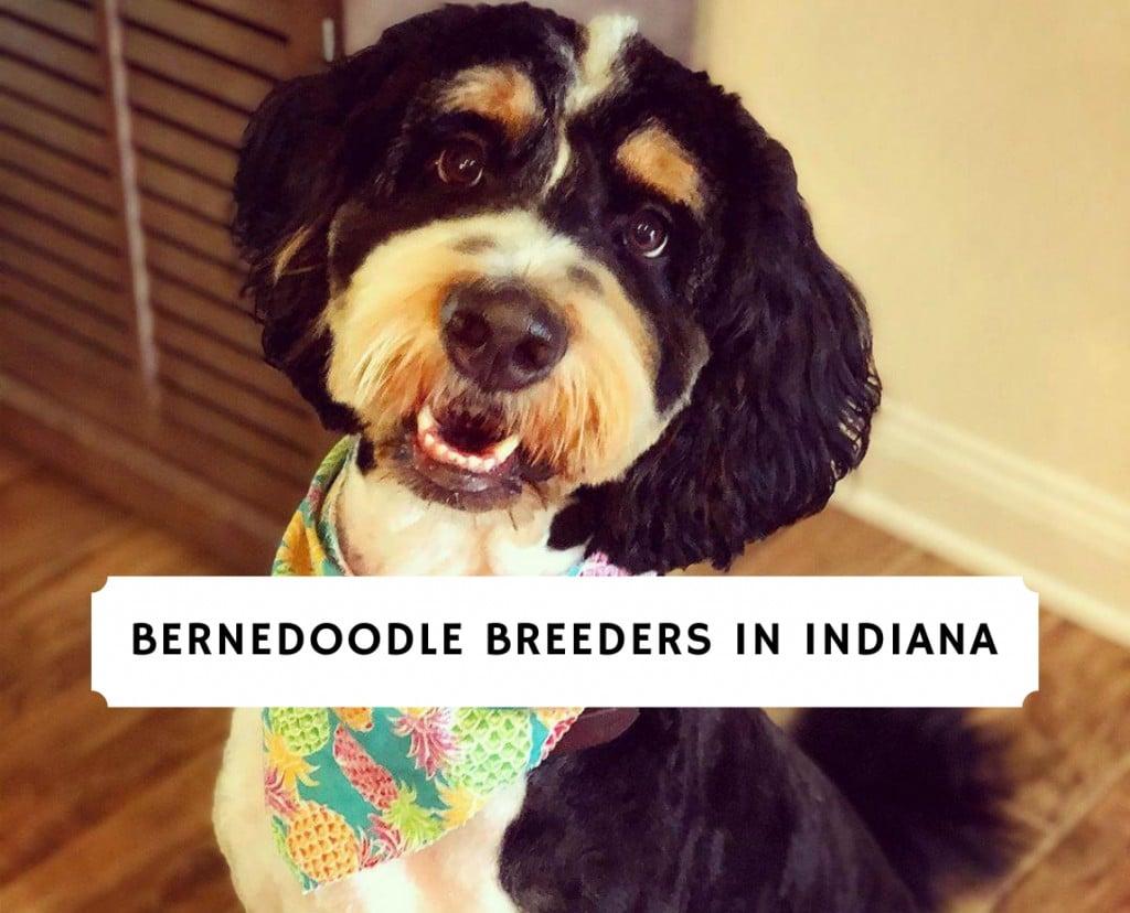 Bernedoodle Breeders in Indiana