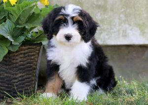 Bernedoodle puppies for sale  Indiana