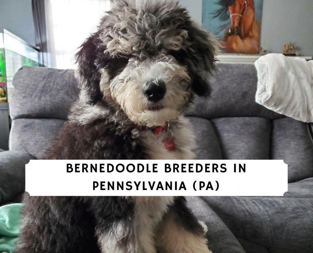 Bernedoodle Breeders in Pennsylvania (PA)