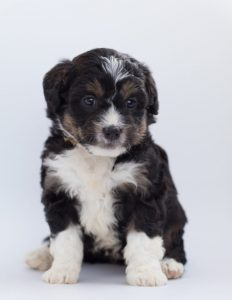 Bernedoodle for sale in Pennsylvania (PA)
