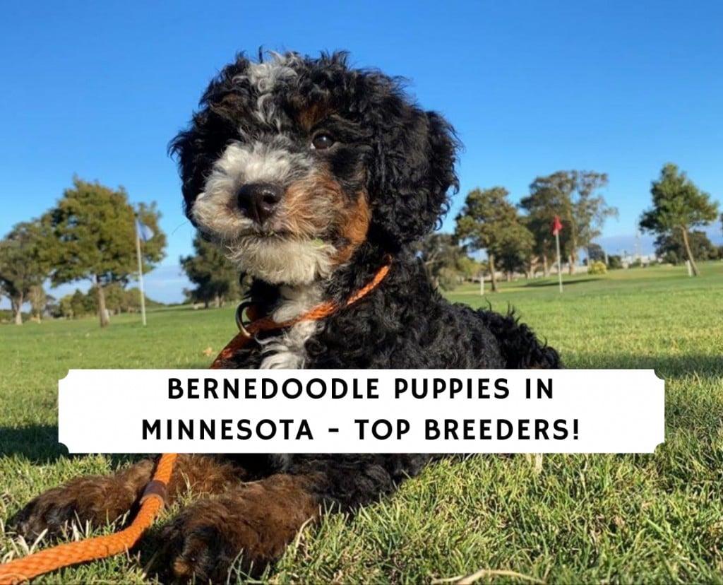 Bernedoodle Puppies in Minnesota