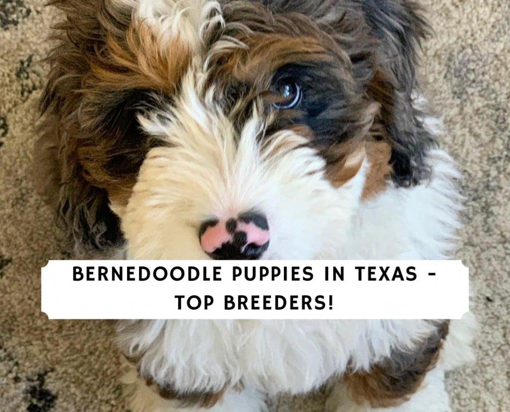 Bernedoodle Puppies in Texas