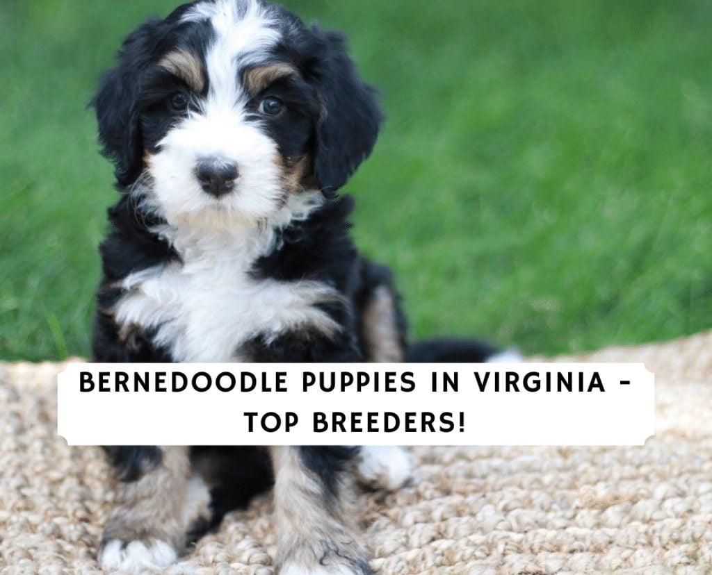 Bernedoodle Puppies in Virginia