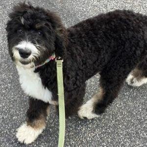 Bernedoodle Puppies in Virginia - Top 5 Breeders!