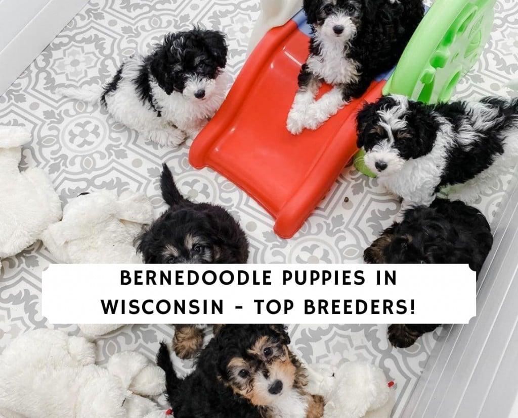 Bernedoodle Puppies in Wisconsin