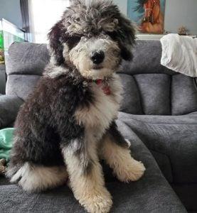 Bernedoodle puppies Pennsylvania