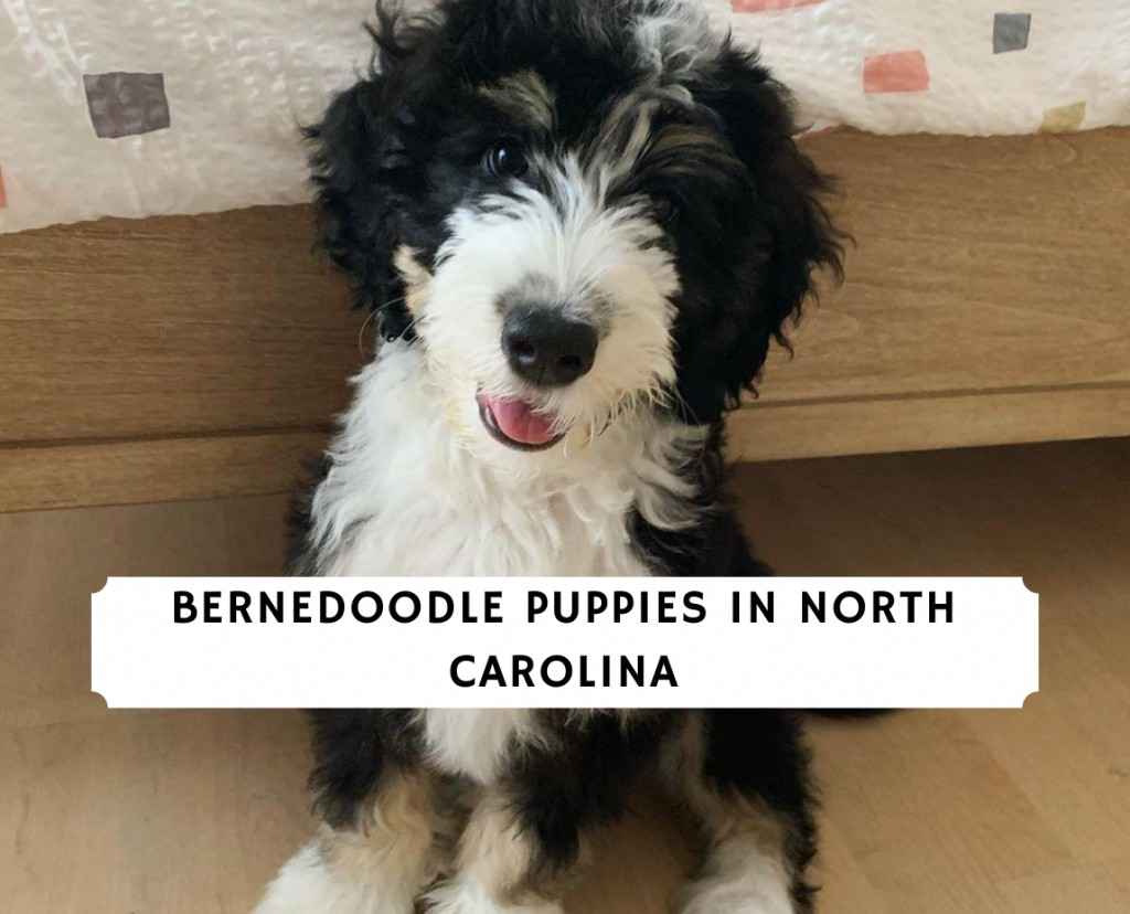 Bernedoodle puppies in North Carolina