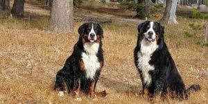 Bernese Mountain Dog Club of Southern California