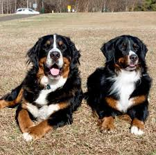 Bernese Mountain Dog Rescues