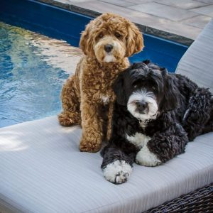 Best Bernedoodle Puppies in North Carolina