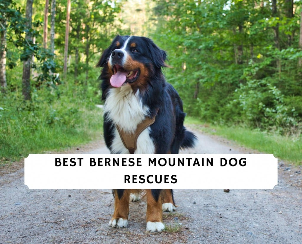 Best Bernese Mountain Dog Rescues