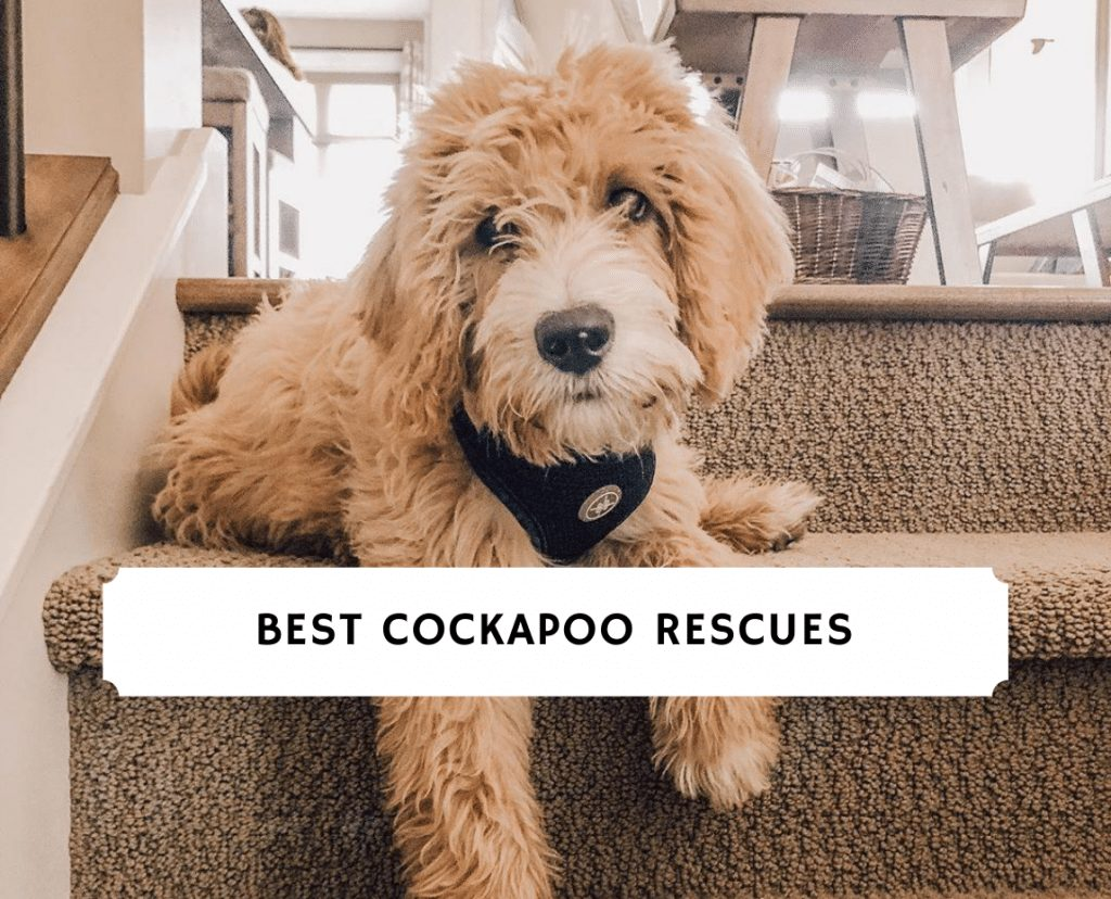 Best Cockapoo Rescues