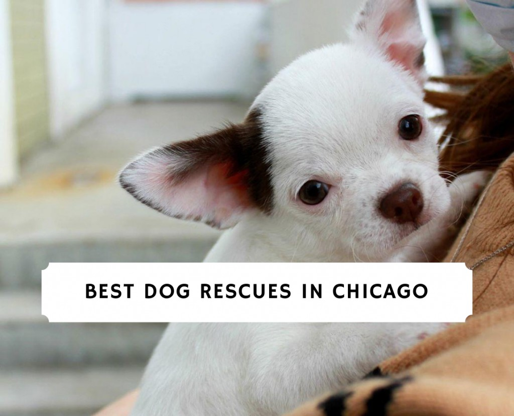 Best Dog Rescues in Chicago
