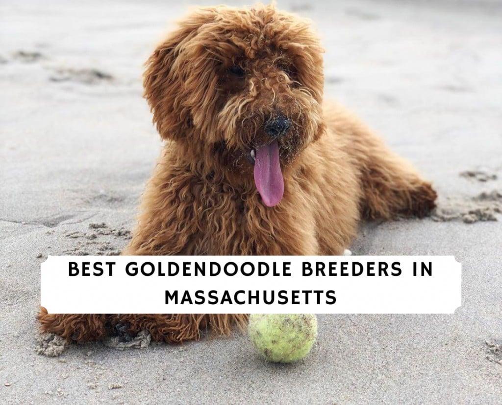 Best Goldendoodle Breeders in Massachusetts