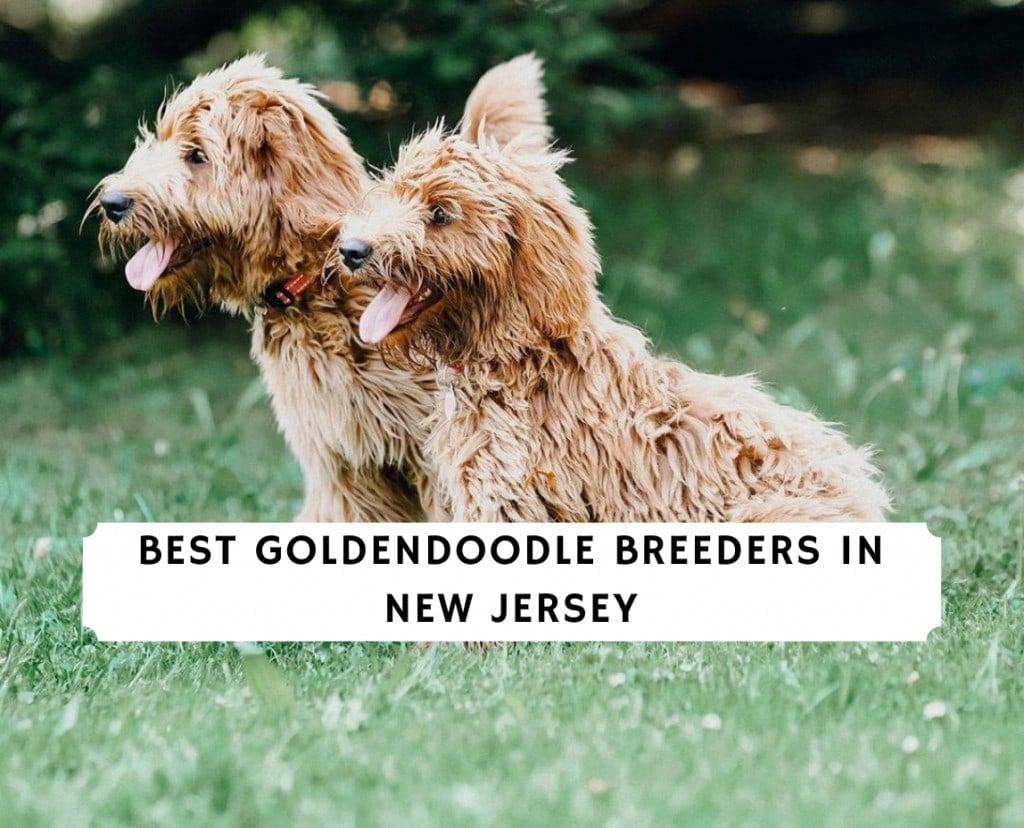Best Goldendoodle Breeders in New Jersey