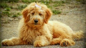 Best Goldendoodle Puppies In Hawaii