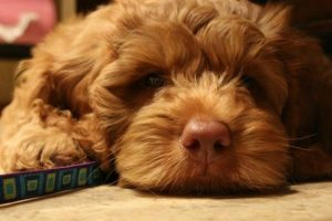 labradoodles for sale in new york