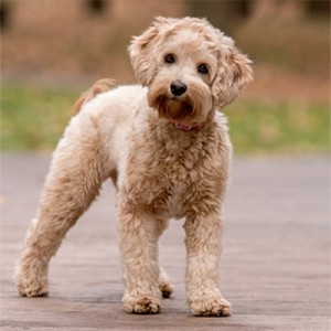 Best Labradoodle Puppies in Illinois