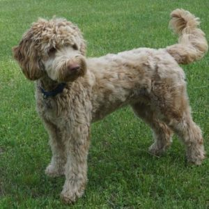 Black Creek Labradoodle