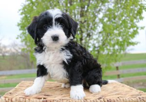 black and white bernedoodle color
