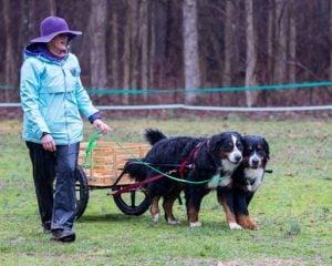 Blue Ridge Bernese Mountain Dog Club