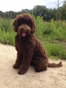 Brown Labradoodles