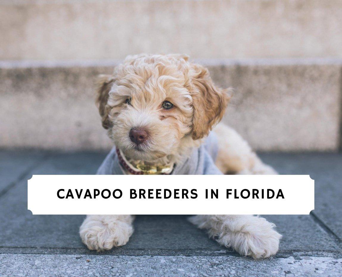 Cavapoo Breeders In Florida Top 4 Picks 2020 We Love Doodles