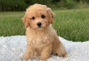 Cavapoo Puppies Texas