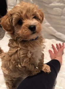 what is the price of a maltipoo puppy