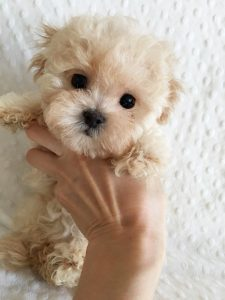 Cost Of Maltipoo
