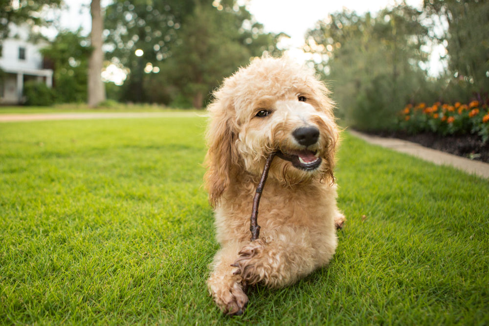 Detect and Treat Cushing's Disease in Your Goldendoodle