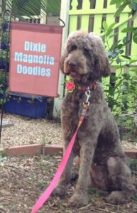 Dixie Magnolia Goldendoodles Mississippi