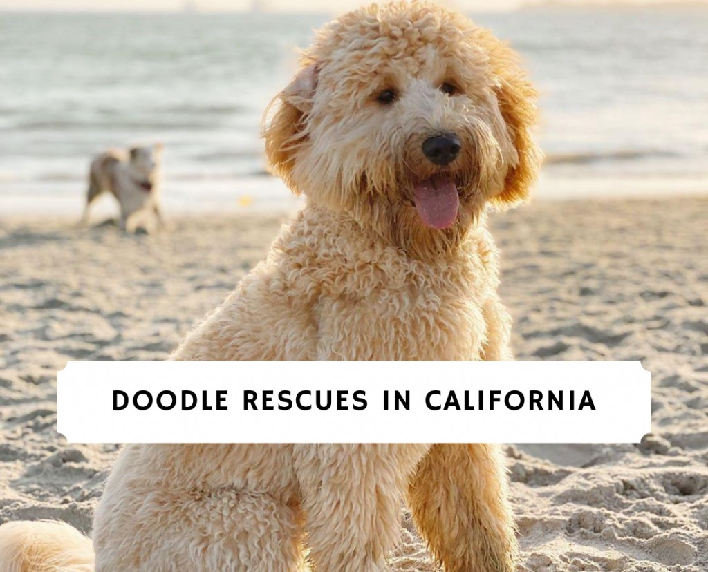 Doodle Rescues in California